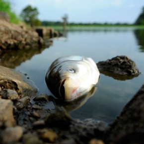 В Петербурге вновь зафиксирована массовая гибель рыбы - на этот раз в Охте