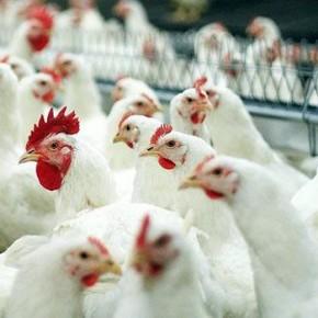 На Синявниской птицефабрике из-за ошибки оборудования погибли 400 тысяч куриц