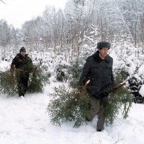 Cрубить елку на Новый год в лесничествах Ленобласти будет стоить всего 3,5 рубля за метр