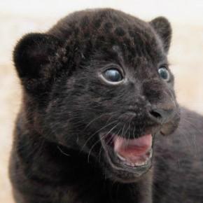 Детёнышей ягуара, родившихся в Ленинградском зоопарке, запечатлели на фото