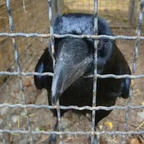 Протекающая крыша «Зенит-Арены» не была разрушена птицами